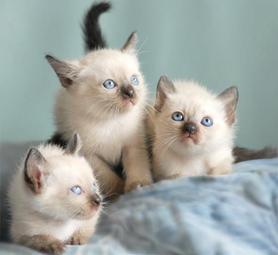 котенца